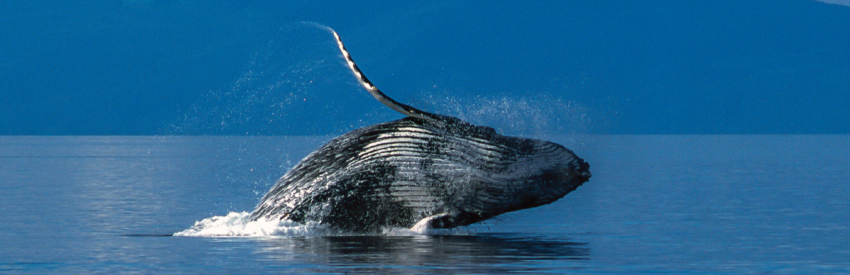 Holland America: Alaska's Top 5 Marine Mammals