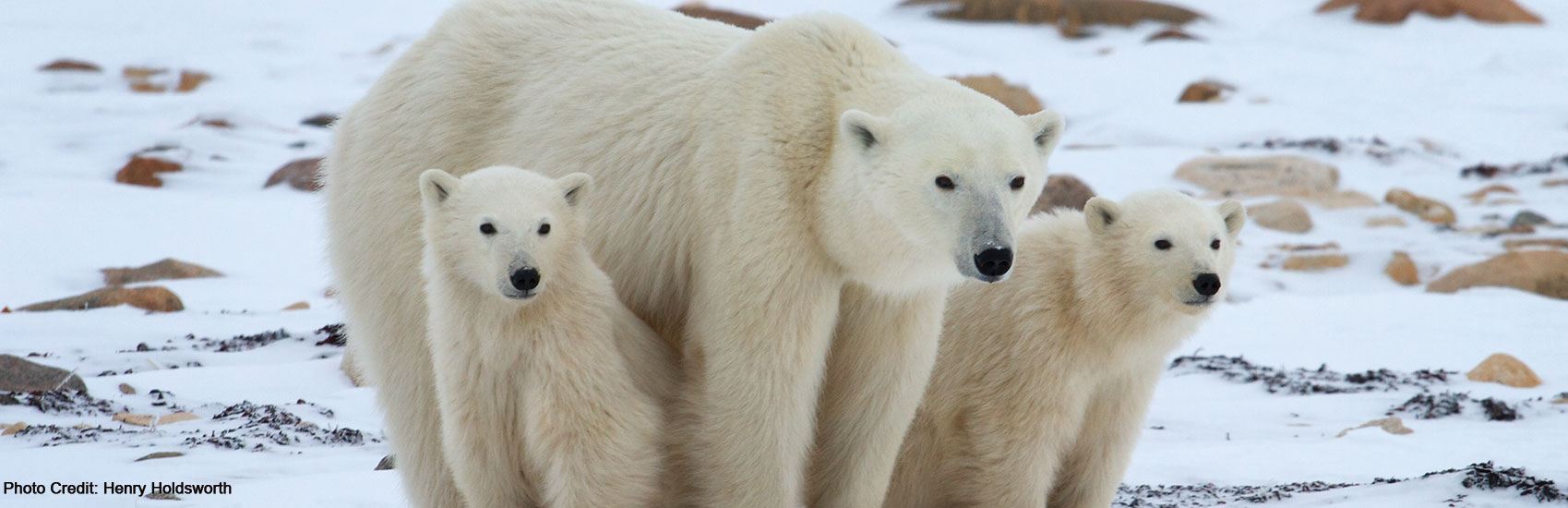 Polar Bear Expeditions with Natural Habitat Adventures