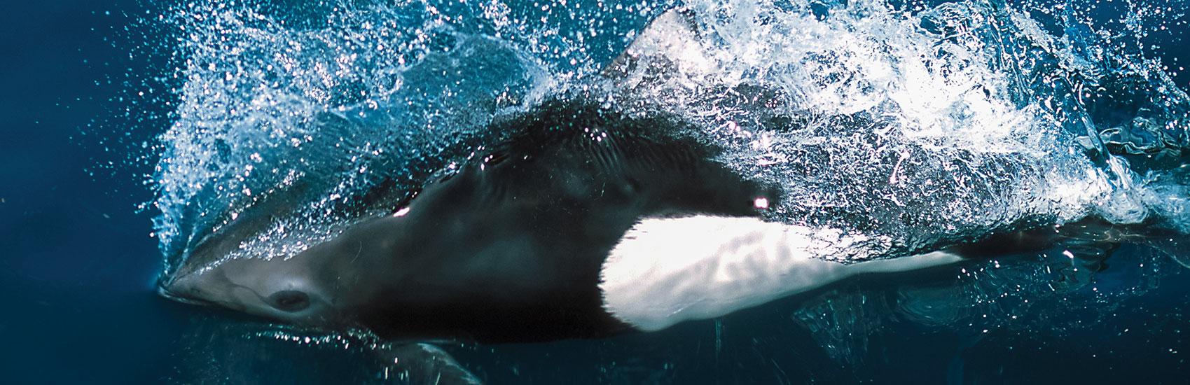 Holland America: Alaska's Top 5 Marine Mammals 4