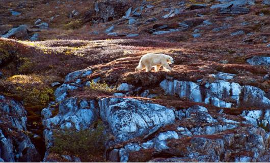 Aux abords de la banquise de l'île de Baffin : Narvals et ours polaires