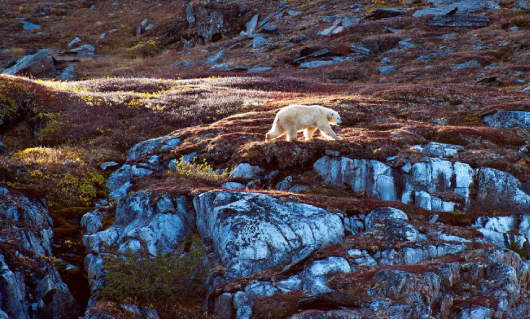 Baffin Island Floe Edge: Narwhals & Polar Bears